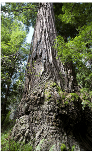 Usal Redwood Forest