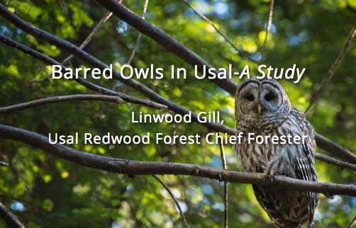 Barred Owls In Usal